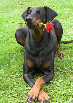 red rose and dobermann